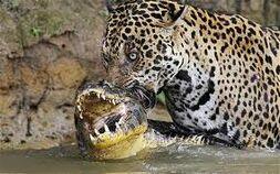 Jaguar z kajmanem