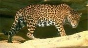 Jaguar onca onca
