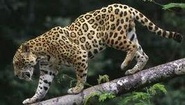 Jaguar ZWINNY