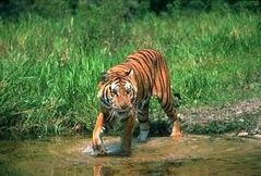 Tygrys bengalski1