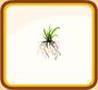 Grass Root
